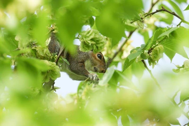 Um carolinensis bonito de Grey Squirrel Sciurus que alimenta nas sementes do glabra de Wych Elm Ulmus imagens de stock