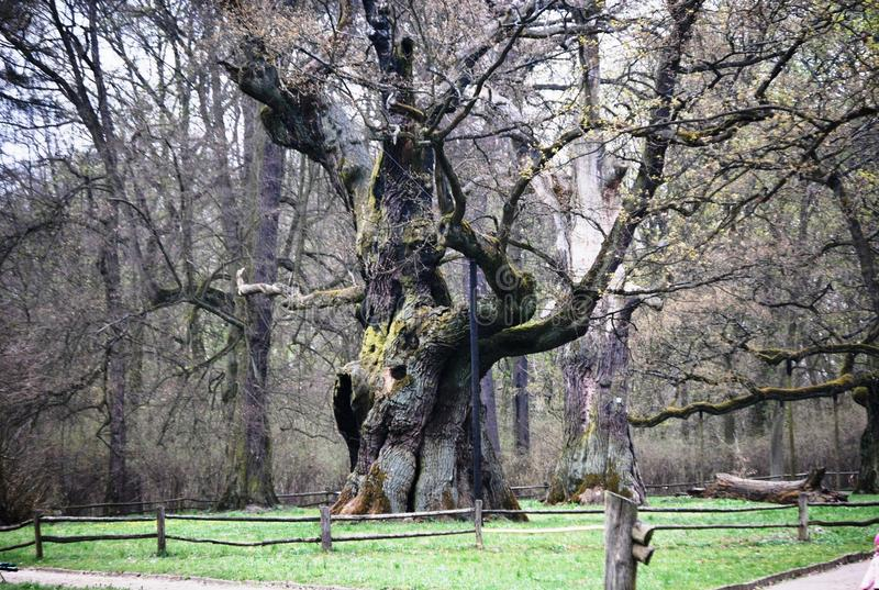 Um carvalho antigo no Polônia, em Rogalin imagens de stock