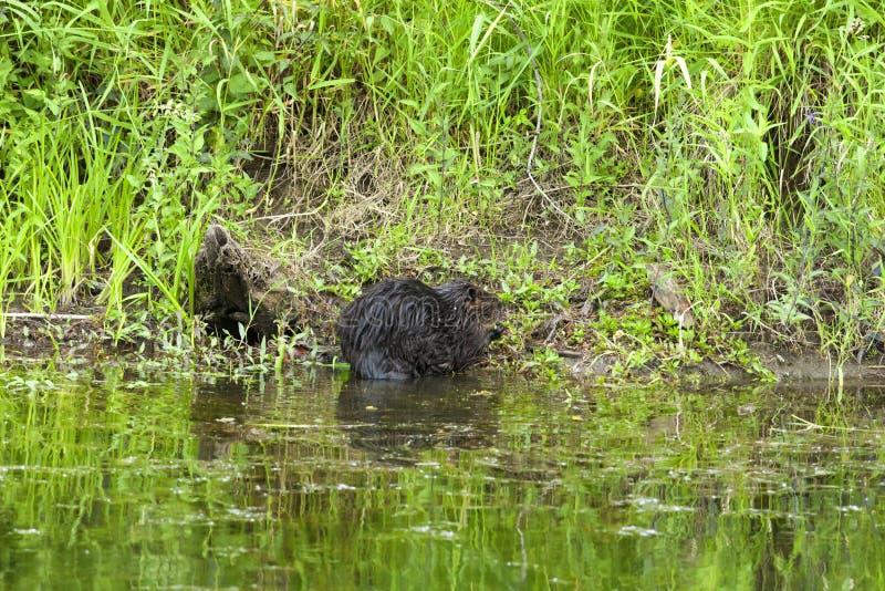 Um castor no banco de rio fotos de stock