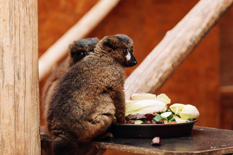 Um catta anel-atado do lêmure está comendo um fruto ao sentar-se em um log imagem de stock