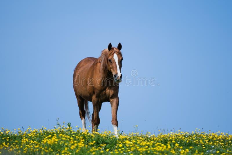 Um cavalo árabe do garanhão do puro-sangue imagem de stock royalty free