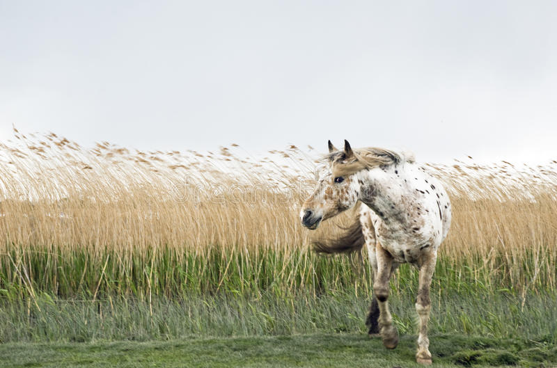 Um cavalo bonito do appaloosa foto de stock