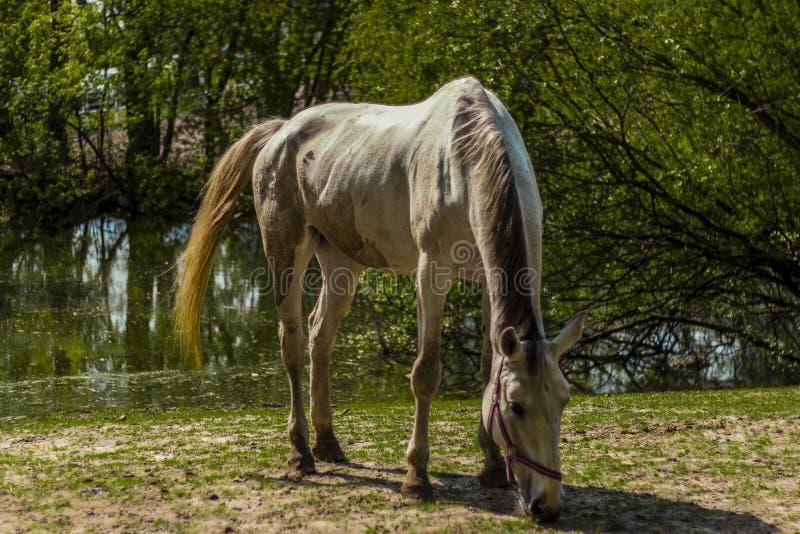 Um cavalo com fome imagens de stock royalty free