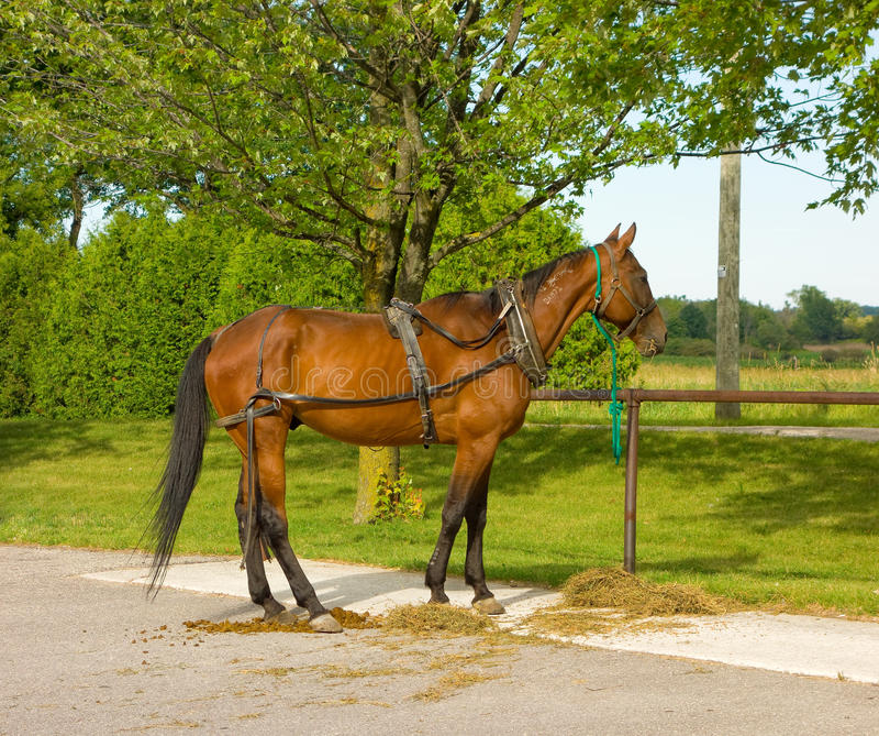 Um cavalo com o chicote de fios usado para puxar um vagão de amish foto de stock royalty free