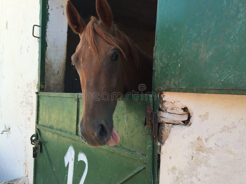 Um cavalo com sua língua que pendura para fora foto de stock