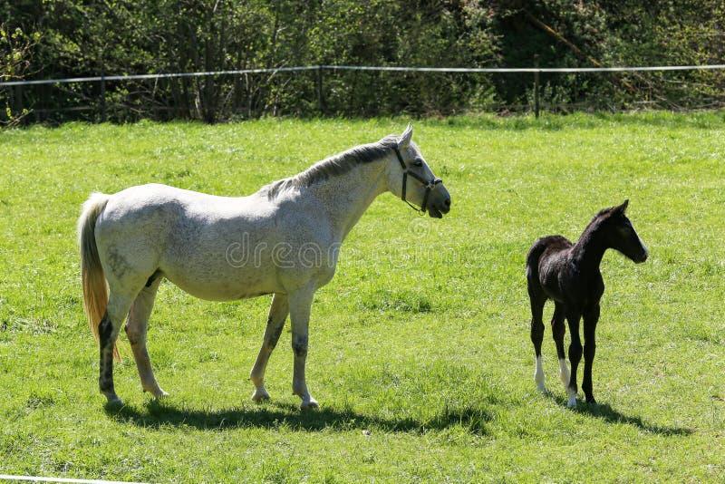 Um cavalo com uma pasta esmaltada no prado fotografia de stock royalty free