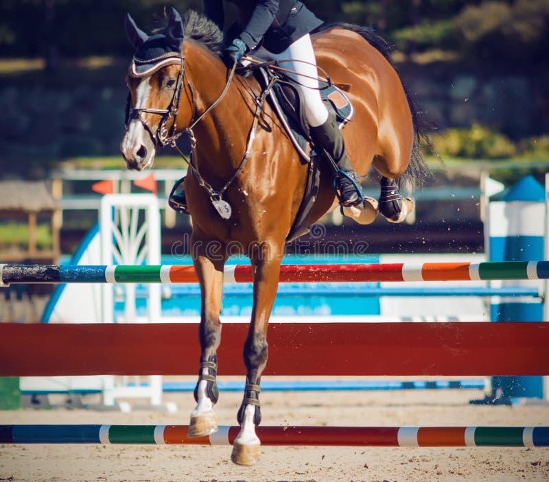 Um cavalo da Baía com um cavaleiro na sela salta sobre uma barreira alta em uma competição de salto em um dia ensolarado foto de stock royalty free