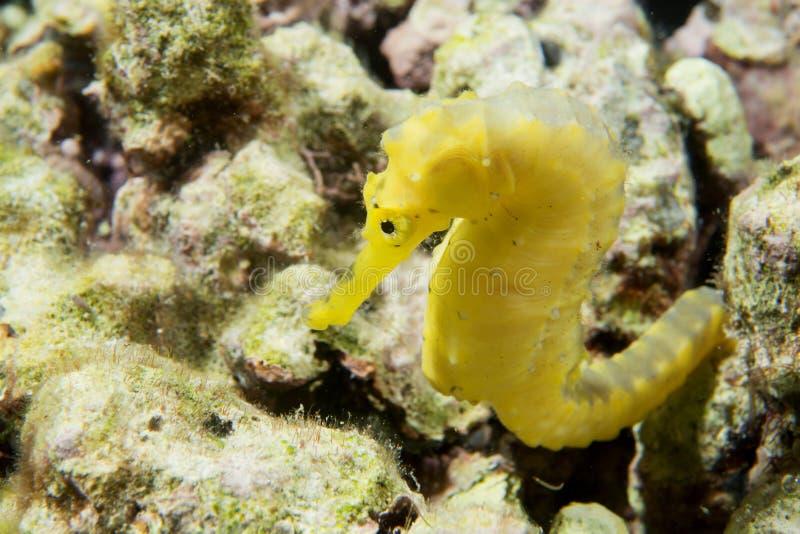 Um cavalo de mar fêmea do kuda amarelo em Filipinas imagem de stock