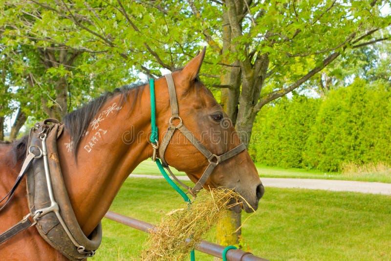 Um cavalo marcado que come o feno imagem de stock royalty free