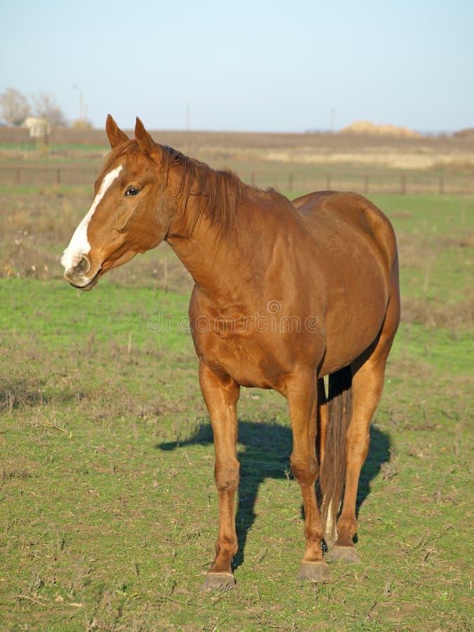 Um cavalo marrom. fotos de stock royalty free