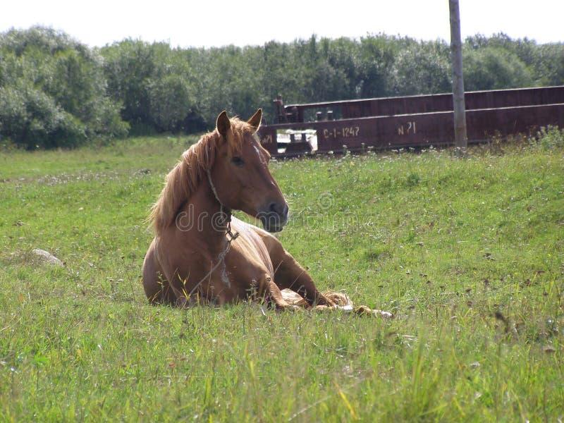 Um cavalo ordinário fotografia de stock