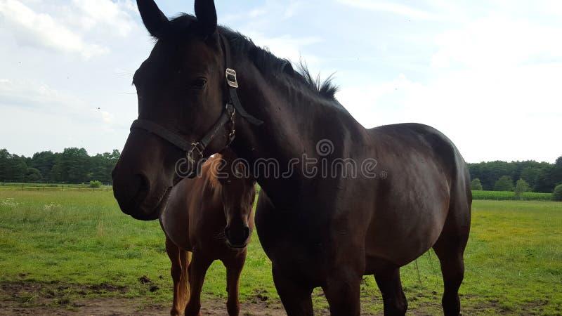 Um cavalo preto com seu potro marrom que olha ao lado fotos de stock royalty free