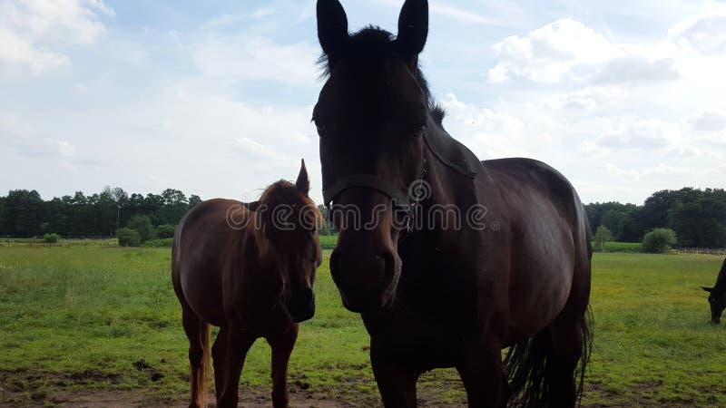 Um cavalo preto com seu potro marrom que olha diretamente na câmera imagens de stock