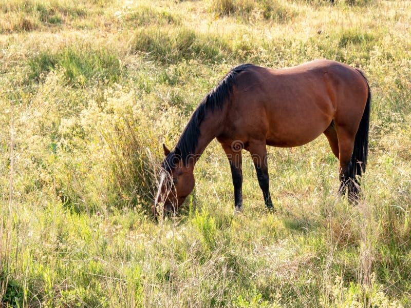 Um cavalo que pasta em um pasto foto de stock royalty free