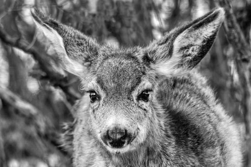 Um cervo de mula novo do bebê parece sorrir para a câmera imagens de stock royalty free