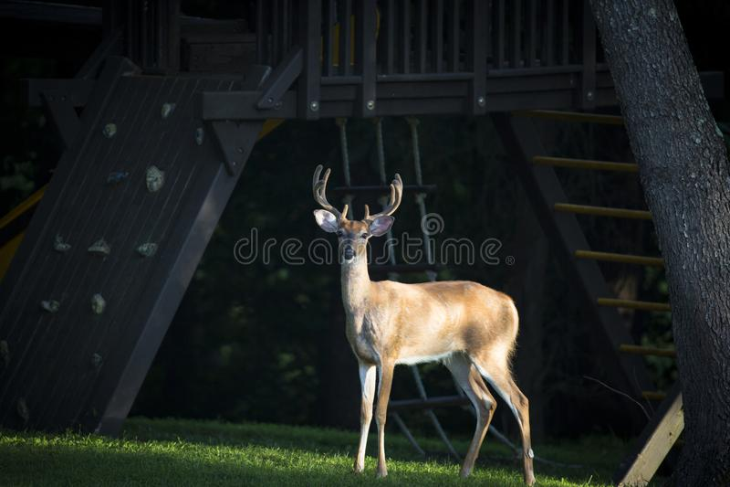 Um cervo no gramado imagens de stock royalty free