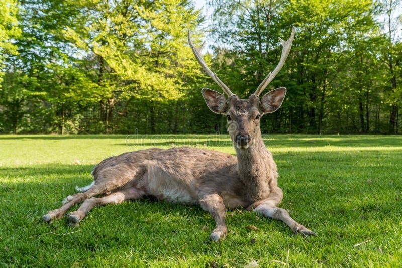 Um cervo novo que coloca na terra da grama imagem de stock royalty free
