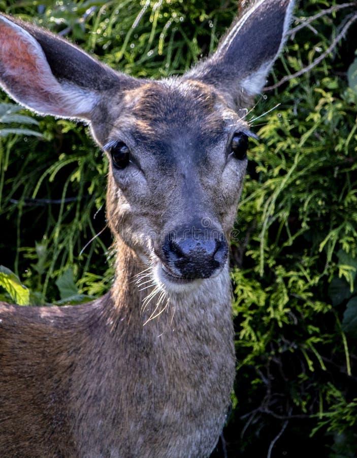 Um cervo preto da cauda que enfrenta me fotos de stock