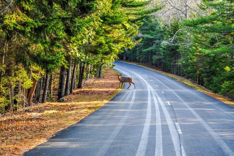Um cervo que cruza a estrada no parque nacional do Arcadia imagem de stock
