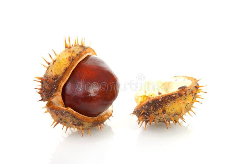 Um chestmut rachado spiky foto de stock royalty free