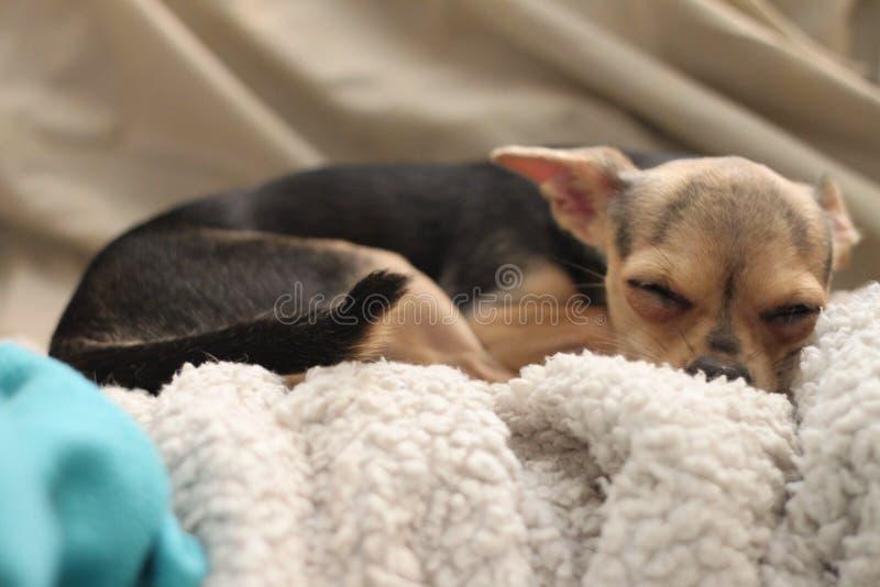 Um chihuahua multicolor 1436 fotografia de stock royalty free