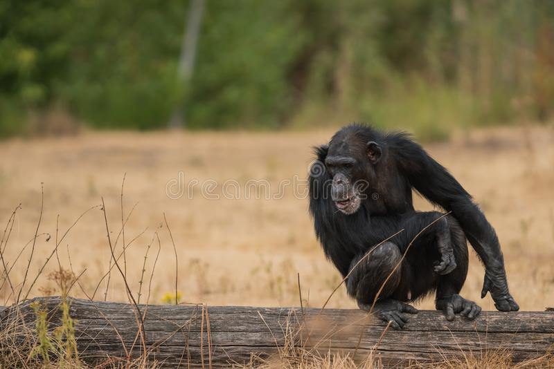 Um chimpanzé comum foto de stock royalty free