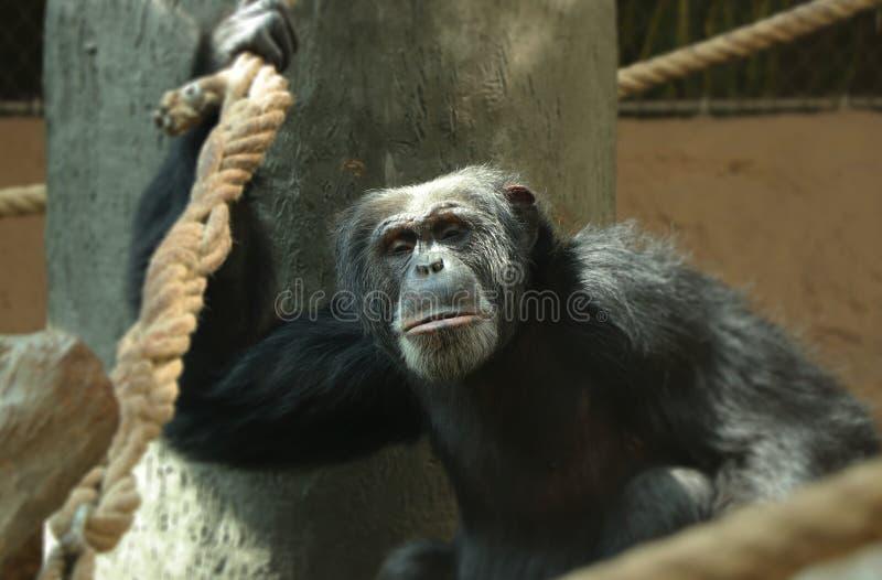 Um chimpanzé comum que escala na árvore e com a uma mão que guarda para a corda e que olha na câmera Tem a pele preta e fotografia de stock