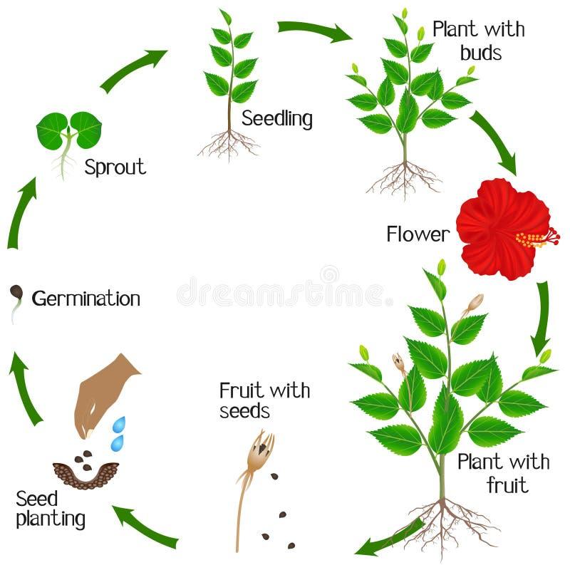 Um ciclo de crescimento da planta do hibiscus em um fundo branco ilustração stock