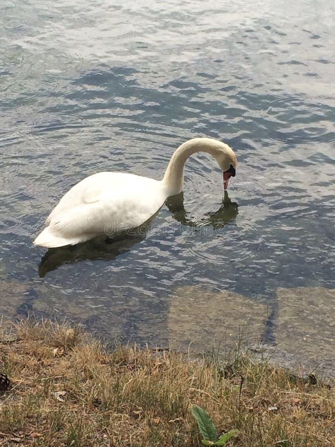 um cisne está nadando na água fotos de stock