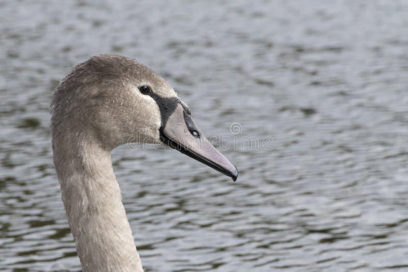 Um cisne novo da cisne muda fotos de stock