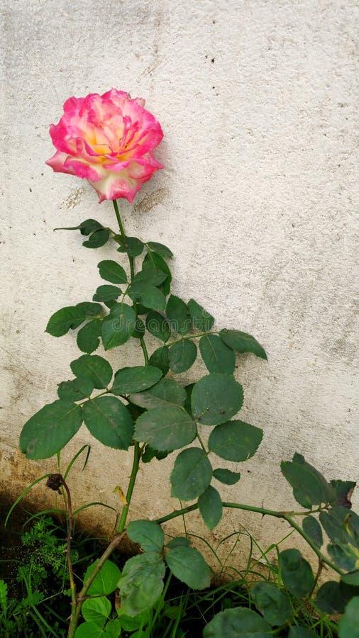 Um clique de uma planta rosa foto de stock