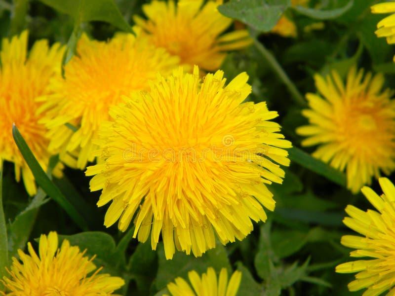 Um close on common dandelion, taraxacum officinale yellow flower cabeças entre grama verde fotografia de stock royalty free