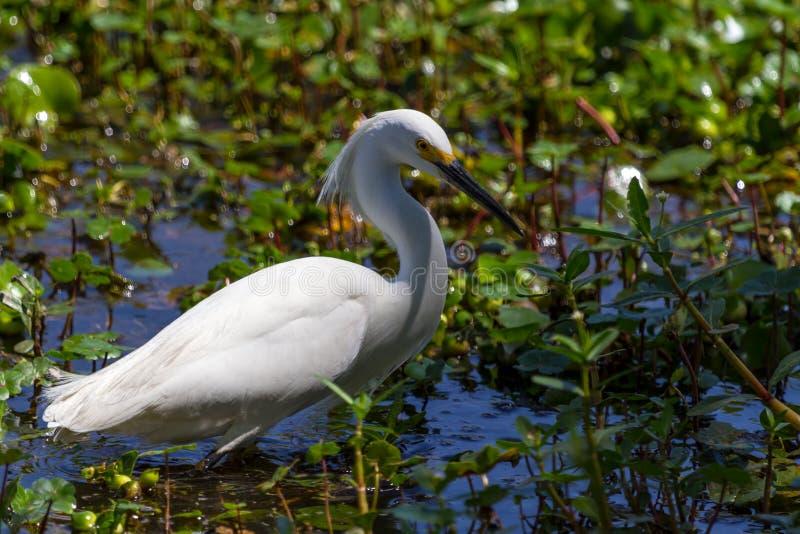 Um close up afiado de um Egret nevado selvagem imagens de stock royalty free
