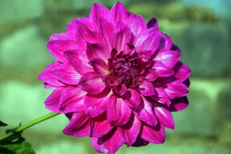 Um close-up da flor cor-de-rosa da dália imagens de stock