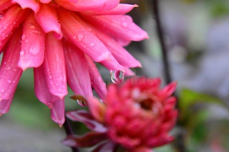 Um close up da flor da dália imediatamente depois da chuva fotografia de stock royalty free