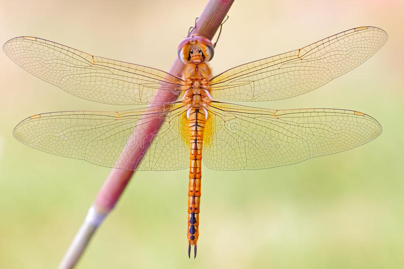 Um close-up da libélula foto de stock
