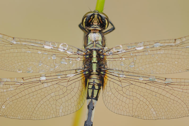 Um close-up da parte traseira da libélula fotografia de stock