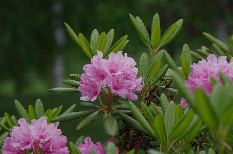 Um close up das flores da azálea fotografia de stock
