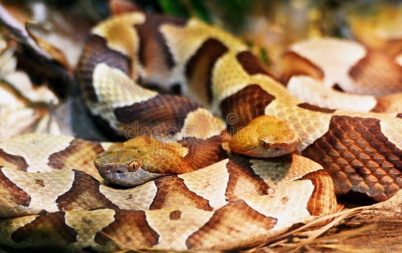 Um close up de duas serpentes do copperhead fotografia de stock royalty free