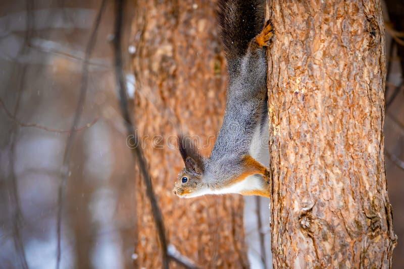 Um close up de um esquilo de árvore em um revestimento cinzento do inverno, Sibéria, Rússia imagem de stock royalty free