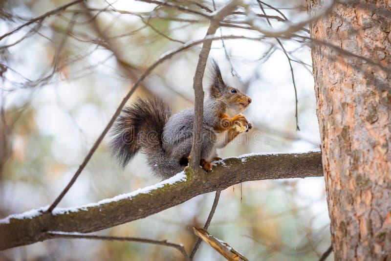 Um close up de um esquilo de árvore em um revestimento cinzento do inverno, Sibéria, Rússia foto de stock royalty free