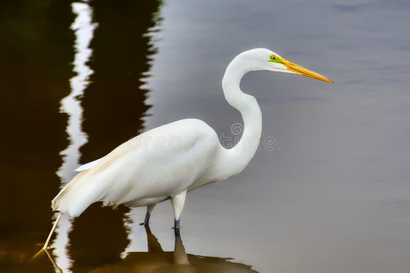 Um close up de um grande egret branco imagens de stock royalty free