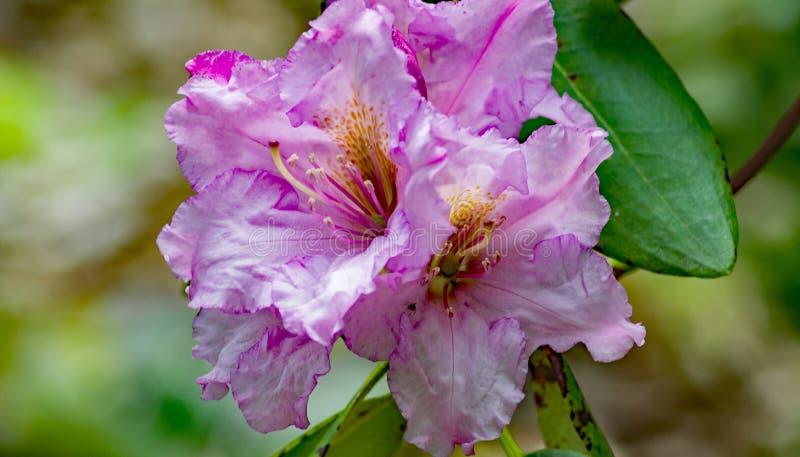 Um close-up de um grupo Azalea Flowers roxa imagem de stock royalty free