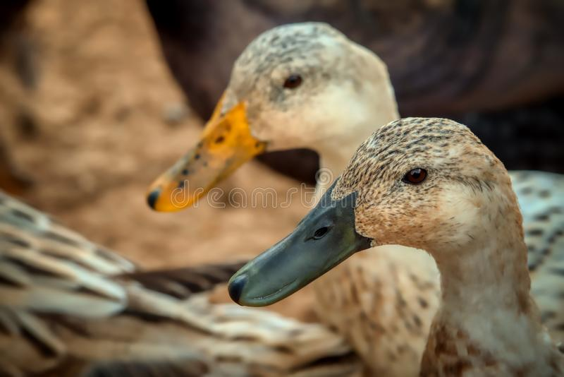 Um close up de um homem e de um pato fêmea do arlequim de Galês fotos de stock royalty free
