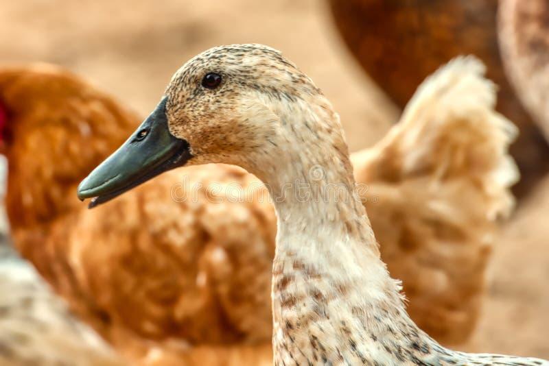 Um close up de um pato do arlequim de Galês imagens de stock