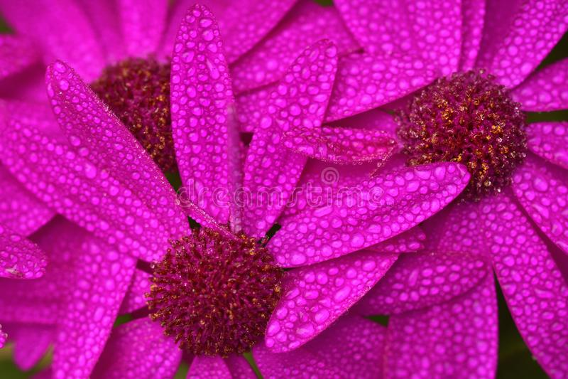 Um close up de três flores da margarida africana imagem de stock royalty free