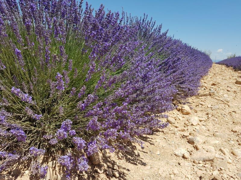 Um close-up de uma fileira de plantas da alfazema, Provence, França fotos de stock royalty free