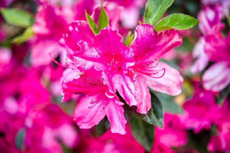 Um close up de uma flor cor-de-rosa bonita da azálea imagens de stock