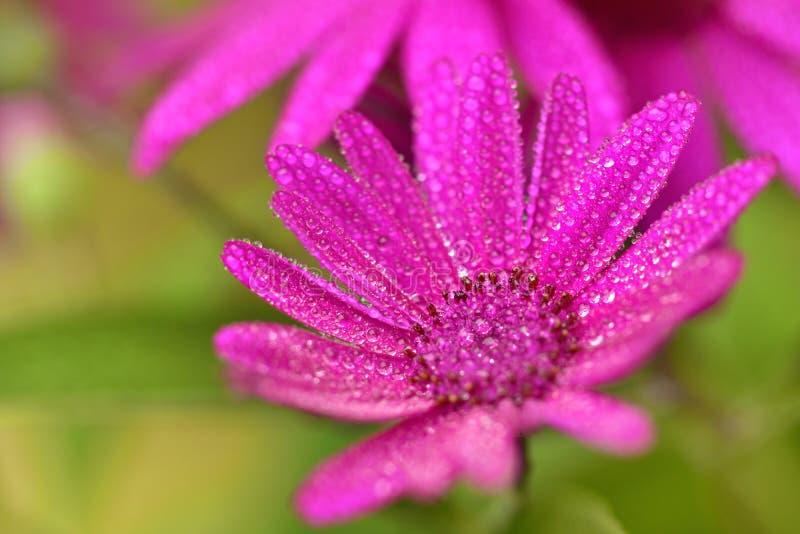 Um close up de uma flor da margarida africana imagem de stock royalty free