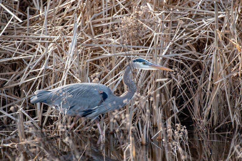 Um close up de uma garça-real azul que anda através da água perto da grama do pântano imagens de stock
